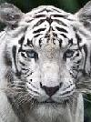 tigrao00sp